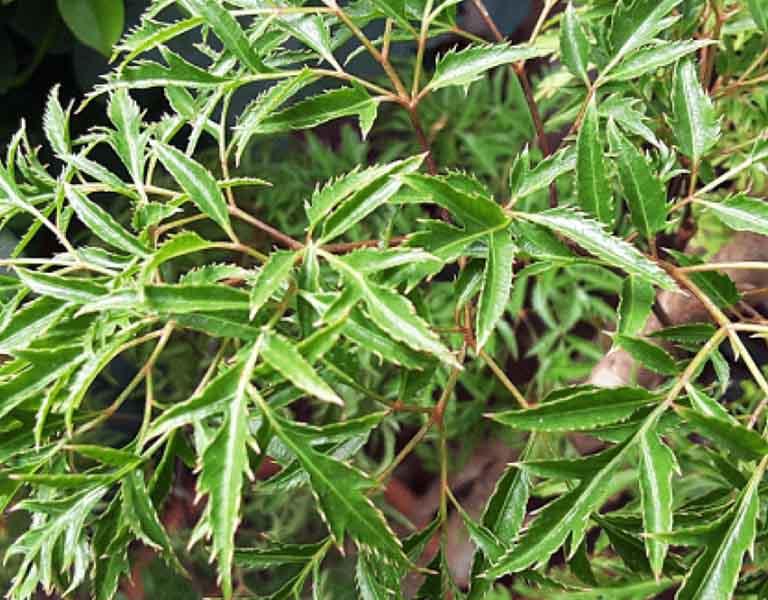 Trong thành phần của cây đinh lăng có chứa nhiều axit amin và vitamin