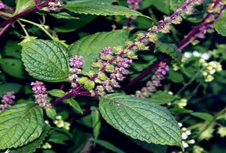 Bài thuốc từ hương nhu chữa đau thần kinh liên sườn
