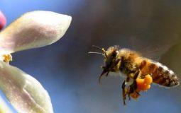 Chữa bệnh khớp bằng ong châm có hiệu quả không? Cách thực hiện thế nào?