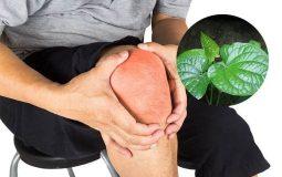 Bất ngờ với 6 cách chữa đau khớp gối bằng lá lốt an toàn, hiệu quả nhất
