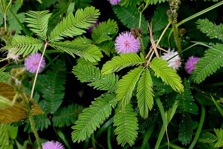 Cây trinh nữ là thảo dược tốt chữa viêm khớp dạng thấp